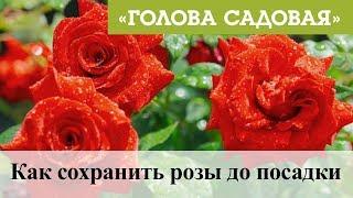 Голова садовая - Как сохранить розы до посадки