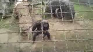olmse zoo aap gooit steen