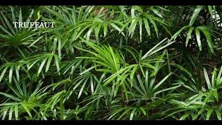 Comment entretenir un Kentia palmier d'intérieur ? - Jardinerie Truffaut TV