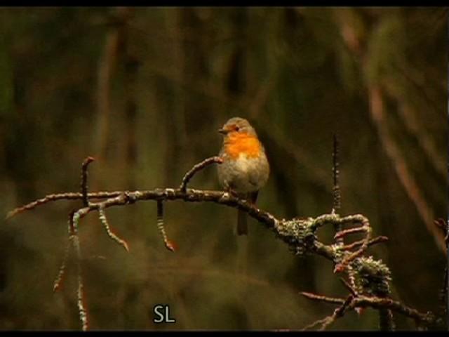 Hauskat lintuvideot. Kuvaus ja editointi Sakari Lahtinen