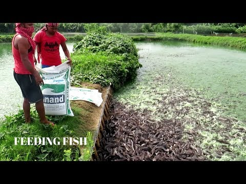 DRY PALLET FOOD Feeding Fish | The Correct Way Of Feeding Fish In Pond