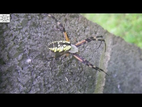 An Argiope Spider By The Well House