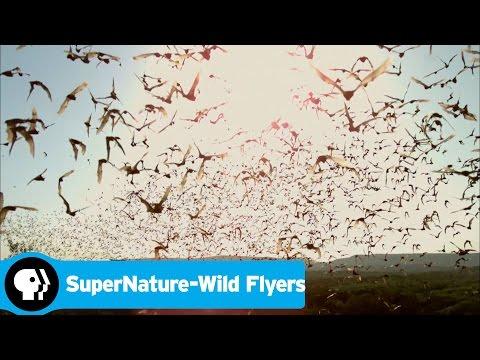 SUPERNATURE - WILD FLYERS   Bats Emerging   PBS