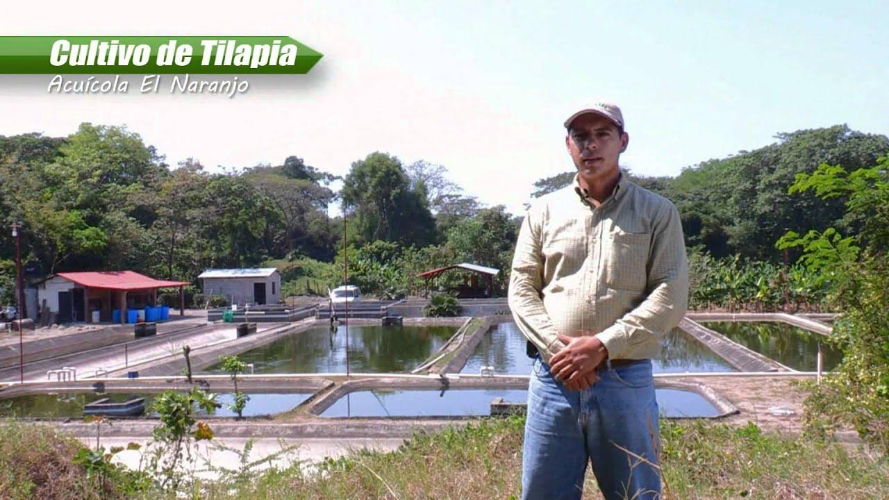 Cultivo de tilapia 1 4 youtube for Densidad de siembra de tilapia
