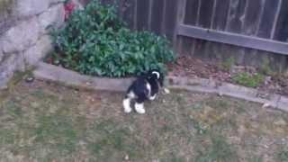 Backyard Fun With Riley The Cocker Spaniel