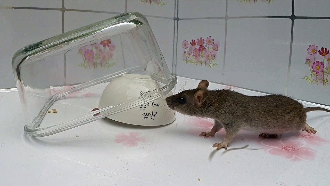 Two Bowl Mouse/Rat Trap.