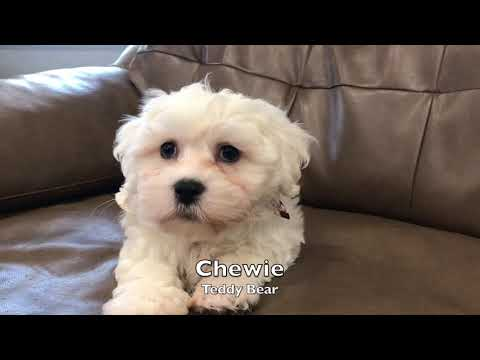Puppies for Sale - Teddy Bears