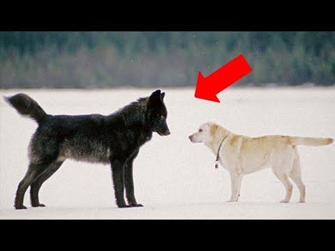 Vahşi Bir Kurt Evcil Bir Köpekle Karşılaşırsa Ne Olur