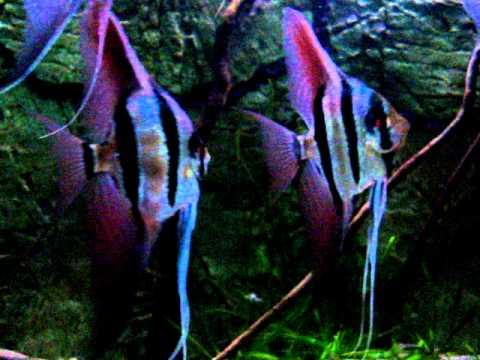 F1 altum angelfish 12 youtube for Peru altum skalar