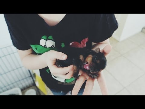 CUTEST little Yorkie/Rottweilers