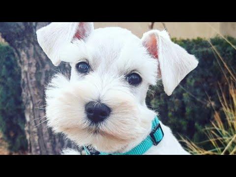 White Miniature Schnauzer Puppy For Sale- Charlie in Training