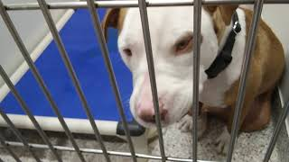 Pima Animal Care Center 8-5-18 Doggie Adoptable- Timitao, Daisy, Snow And A few Others:)