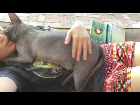 Sphynx Cat Loves to Cuddle