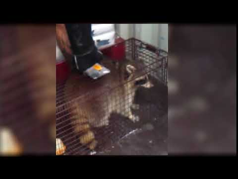 Raccoon Found In Container, Dec 5 2017