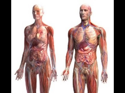 Anatomy And Physiology Of Human Body Youtube