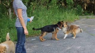 Колли и овчарка, прогулка
