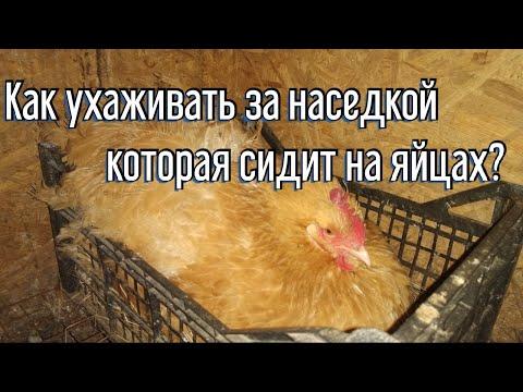 Как ухаживать за наседкой которая сидит на яйцах Клетка для наседки Как посадить курицу на яйца