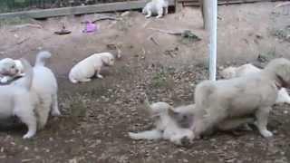 Charlotte And Lincoln's White, English, British Cream Golden Retriever Puppies.