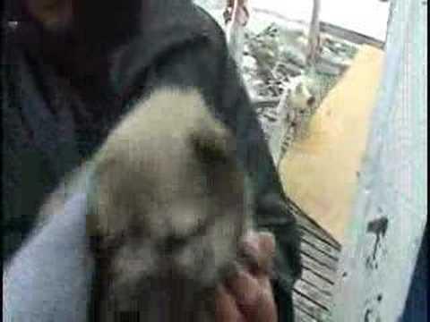 Feet of Green - 290508 - Isortoq Husky pup called Jackie Cha