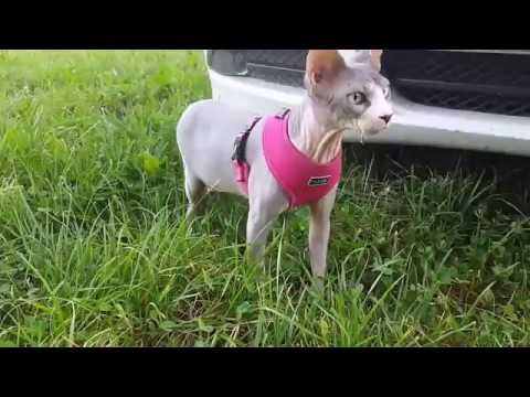 Sphynx cats outside experience