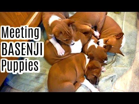 HUGE NEWS! Meeting A New Family Member , BASENJI Puppies