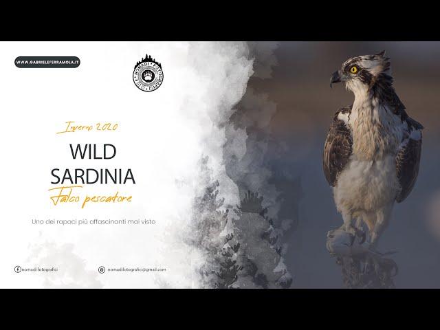 Falco Pescatore Pandion Haliaetus