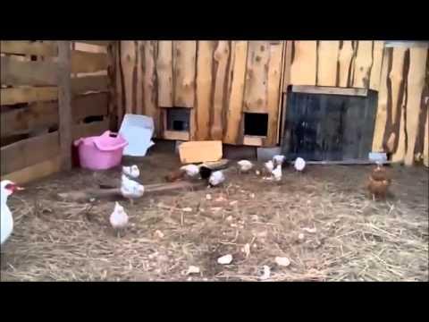 Общаемся на курином языке