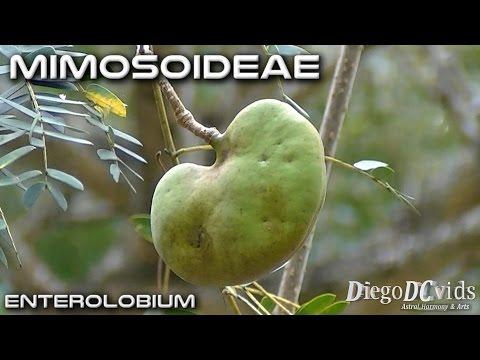 Enterolobium contortisiliquum (Mimosoideae - Ingeae) orelha-de-macaco