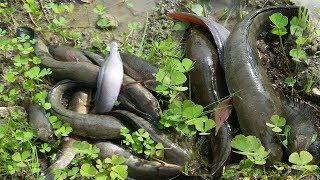 Традиційна риболовля в Камбоджі - дівчину зловити рибу руками зловити багато риби на рисовому полі