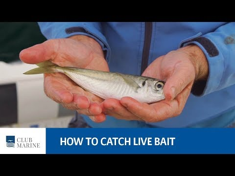 How To Catch Live Bait - Fishing Tip With Al McGlashan | Club Marine