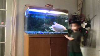 Playing with Powder the Giant Gourami