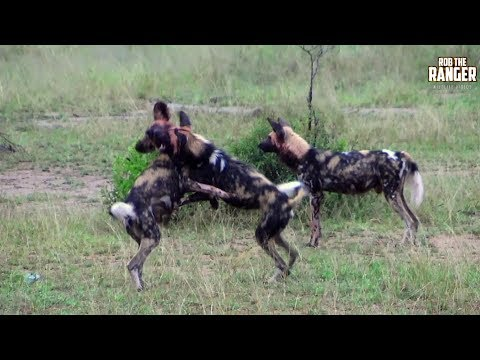 Painted Wolves Play And Feed In South Africa | Archive Clip