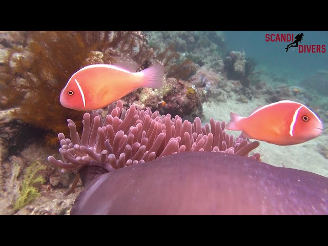 Anemone fish of Puerto Galera
