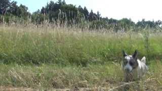 "Welsh Corgi Cardigan 31 - Achilles Z Irexu ""jeremi"""