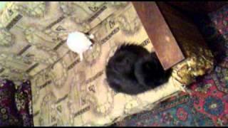 Черная кошка и ее белый котенок