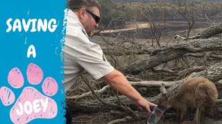 RSPCA Inspector gives water to joey in Adelaide Hills bushfire aftermath