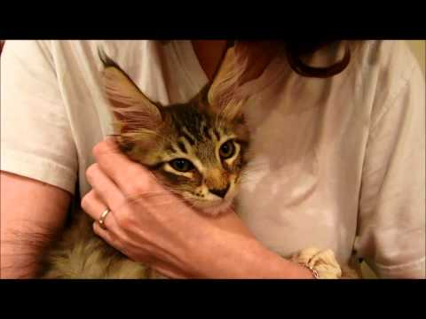 Sleepy and Chatty Maine Coon Kitten