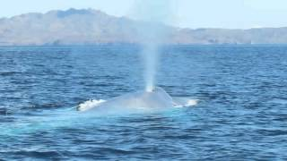 Blue Whale shows up 3 times at Loreto National Park - Thore Noernberg Whale Watching