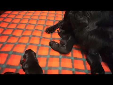Cahaba Flat Coated Retrievers Lizzi Puppies Day Four