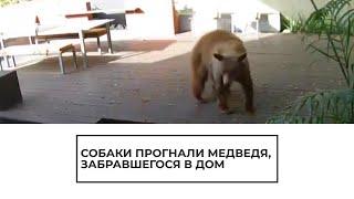 Собаки прогнали медведя, забравшегося в дом