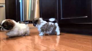 Shih Tzu Puppies For Sale July 17, 2014
