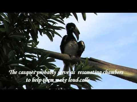 Birds of Singapore: Oriental Pied Hornbills (Anthracoceros albirostris) of Pulau Ubin
