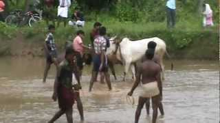 Kalapootu (oxen rising) From Chembra (Tirur)