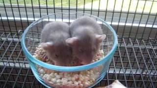 two baby rats eating in a bowl