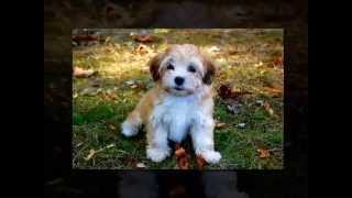 How To Potty Train Your Havanese Puppy - Top 5  Tips On How To Potty Train Your Havanese Puppy