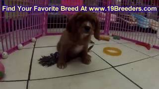 Cavalier King Charles Spaniel, Puppies For Sale, In, Nashville, Tennessee, Tn, County, 19breeders, K