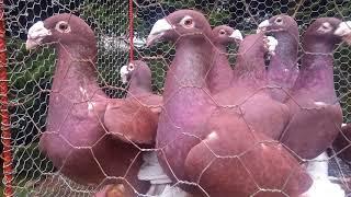Gołębie rzeszowskie(1)