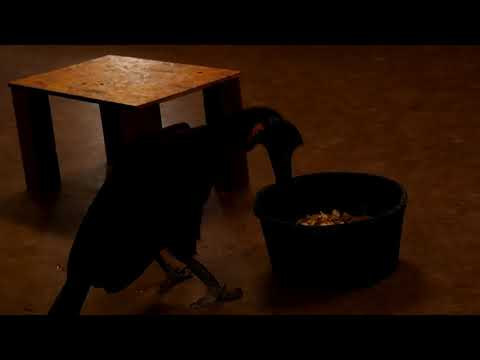 Abyssinian ground Hornbill talk at Cheyenne Mountain Zoo Pt. 1
