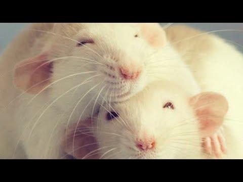 Вопрос: Можно ли малыша крысеныша подселить к взрослому?