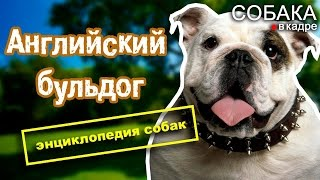 Английский бульдог. Энциклопедия пород собак.